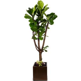 떡갈고무나무