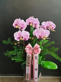 호접란(핑크)