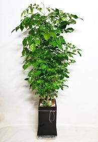 해피트리(행복나무 대품)