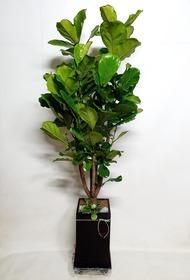 떡갈나무(대품)